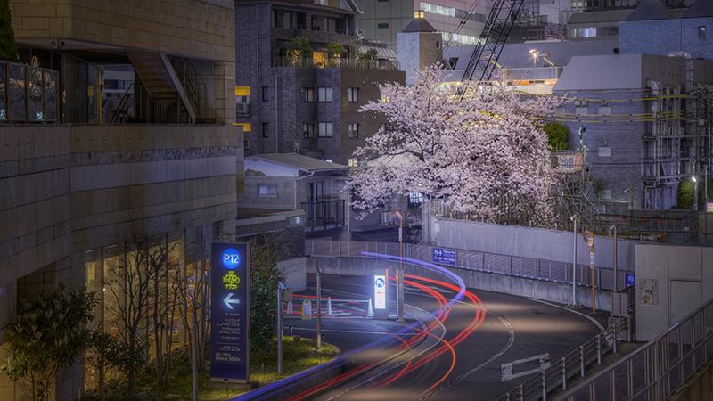 桜 2016nobiann
